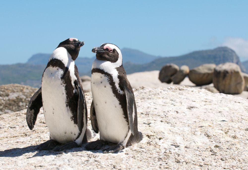 http://www.dreamstime.com/royalty-free-stock-image-penguins-boulders-image23111496