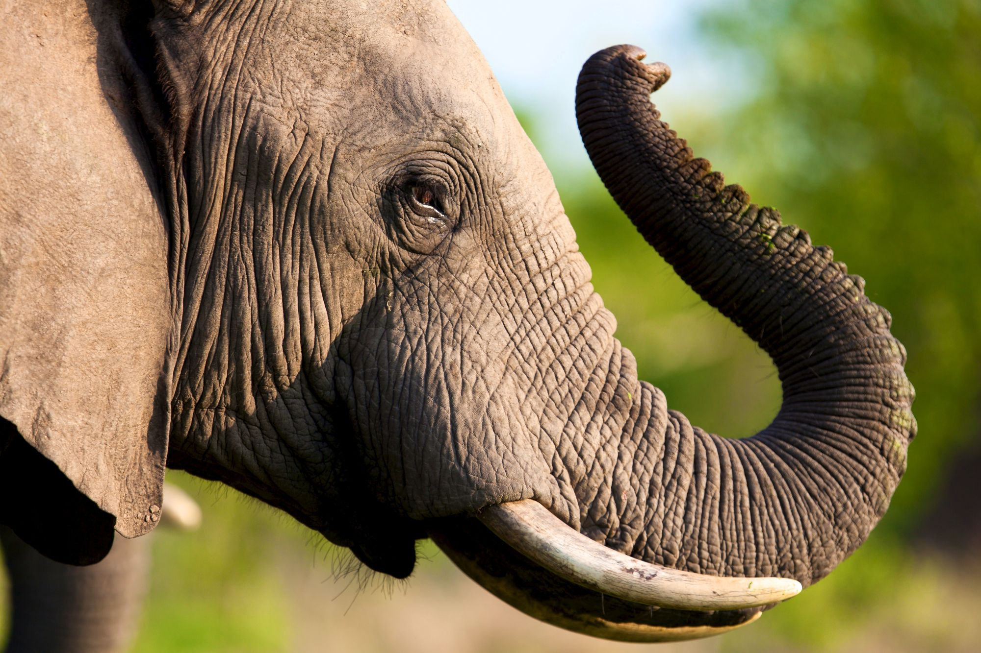 http://www.dreamstime.com/stock-photography-elephant-tusk-thick-skin-strong-image33022852