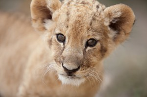 http://www.dreamstime.com/royalty-free-stock-image-portrait-cute-little-lion-cub-looking-you-photo-collection-month-old-male-very-creature-image32620936