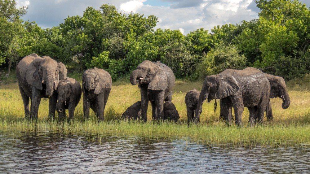Elephants On Chobe Riverfront