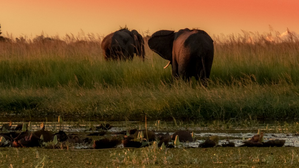 Elephants at Sunset, Chobe