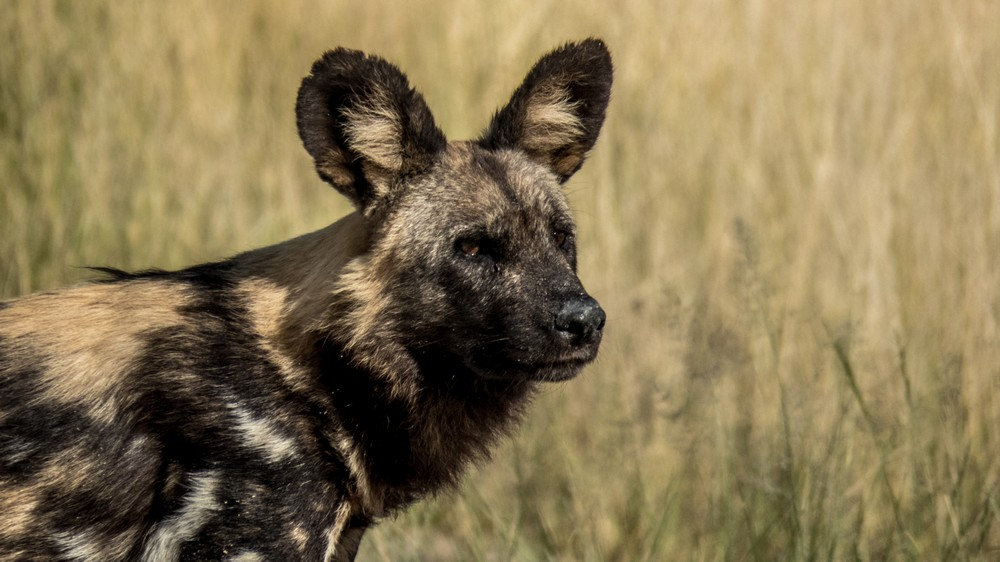 Wild Dog, Okavango Delta