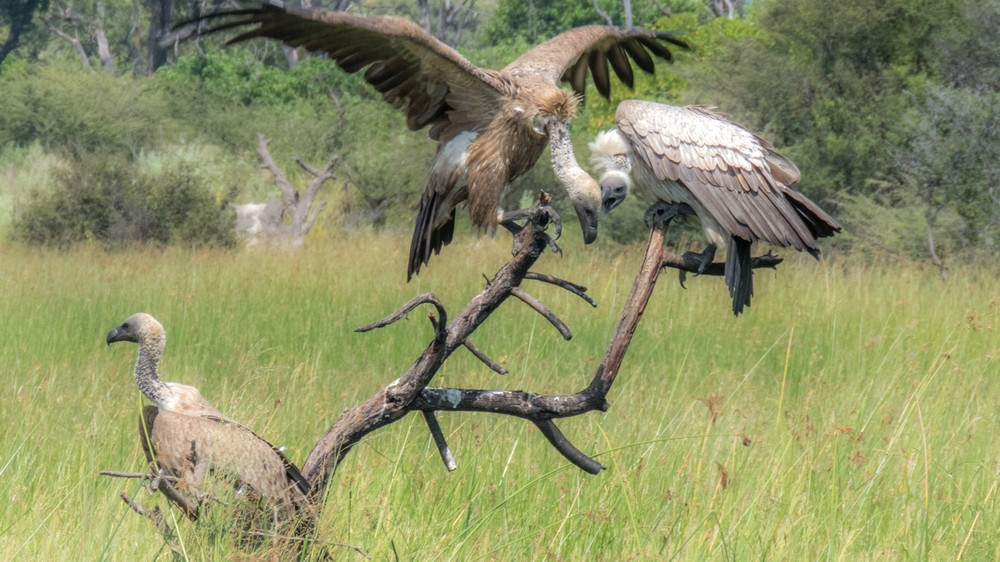 White-Backed Vultures, Okavango Delta