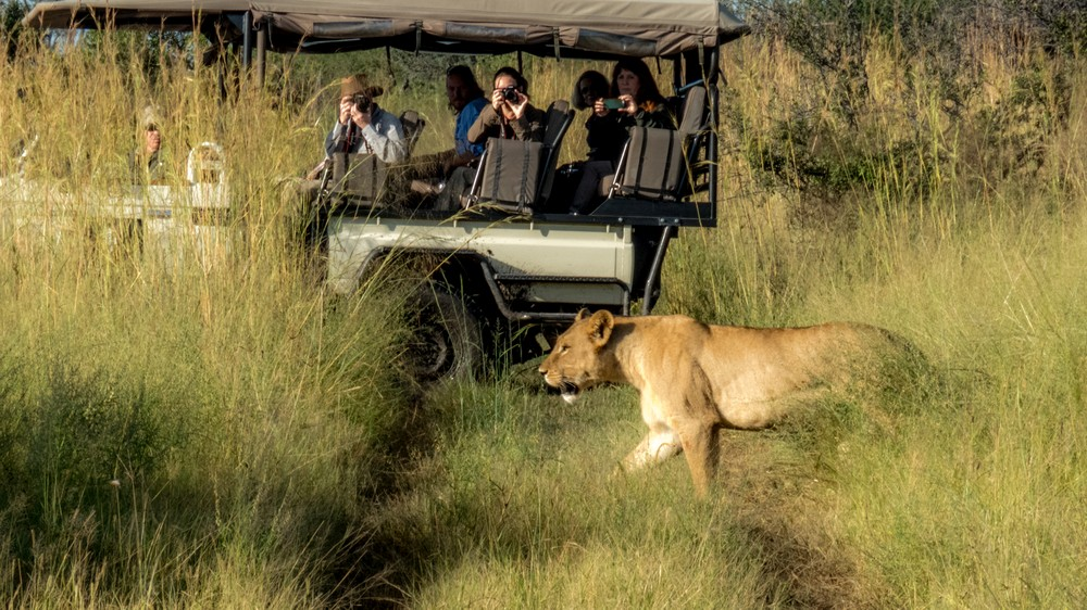 Lioness & Game Vehicle, Okavango Delta
