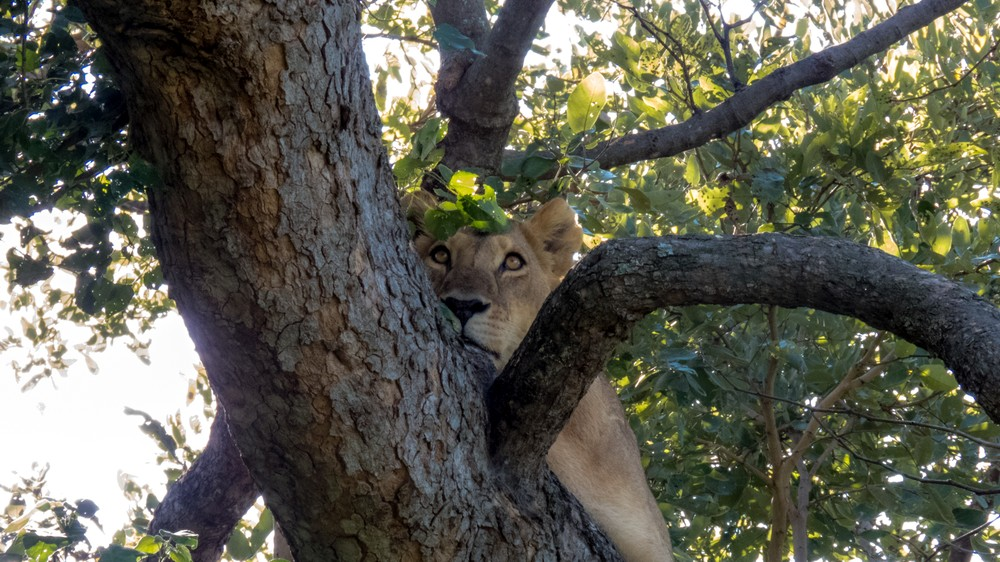 Lion Up A Tree, Okavango Delta