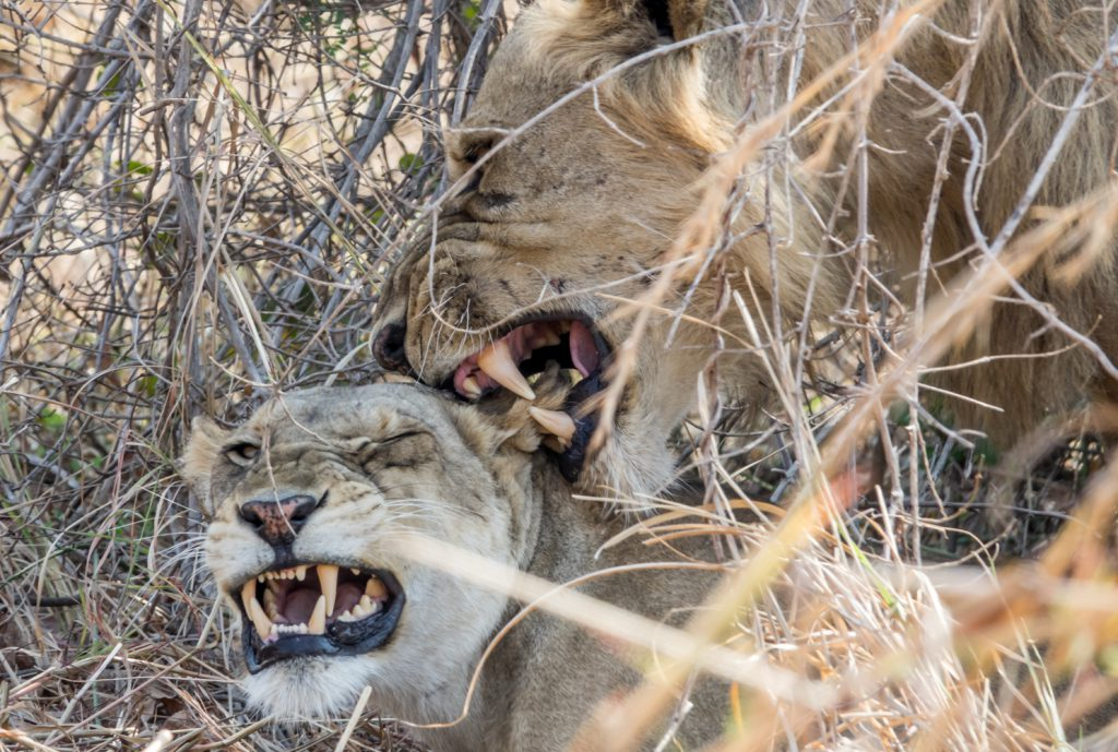 Lions mating, South Luangwa, Zambia