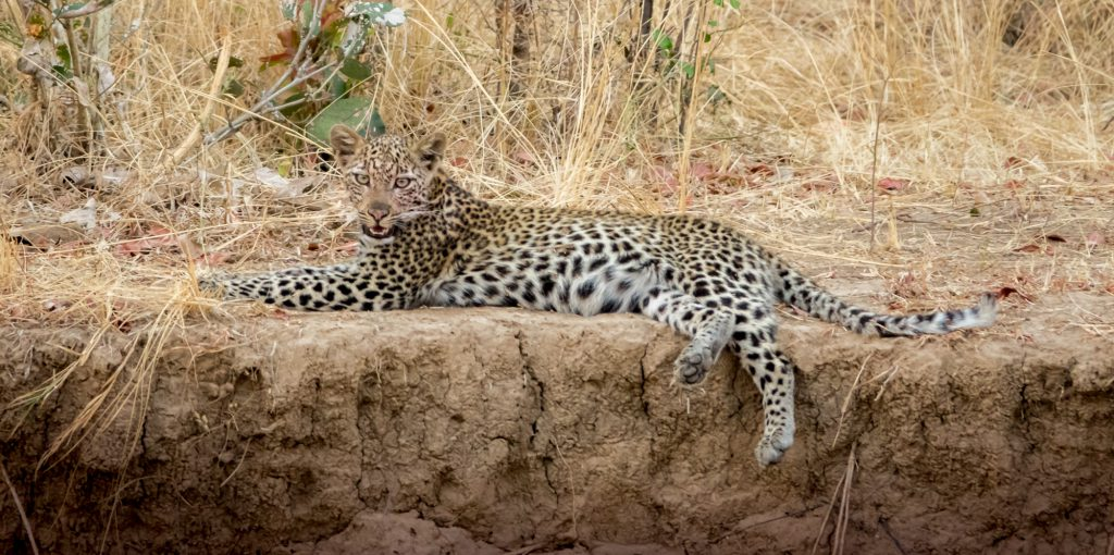 Young leopard, Zambia
