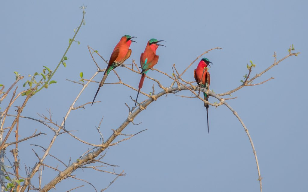 Beautiful carmine bee-eaters, Zambia