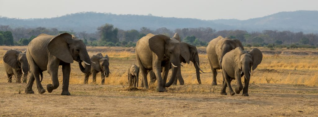 Elephant Herd On the Move, South Luangwa, Zambia