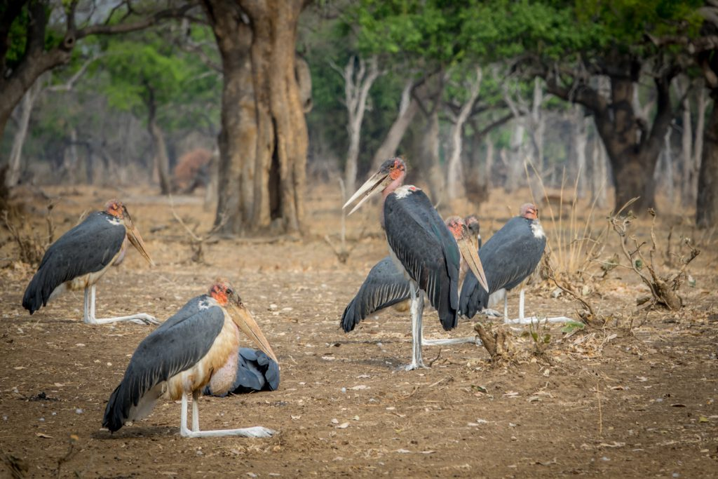 Marabou Storks, Lower Zambezi National Park