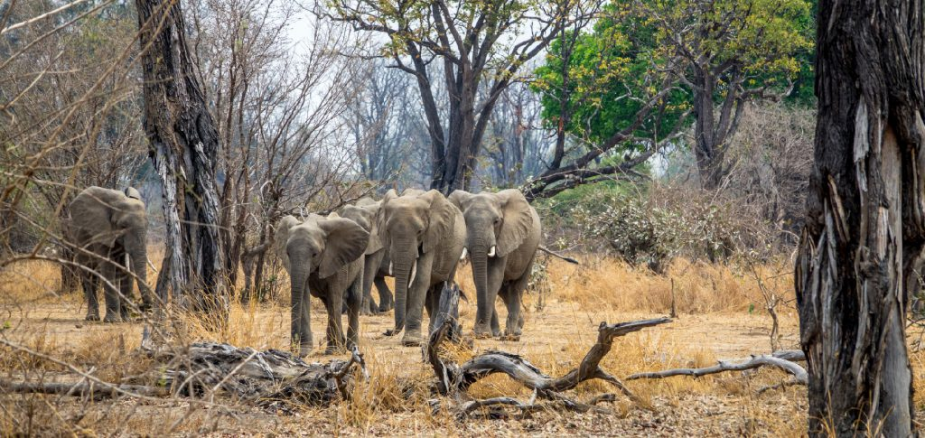 Elephants emerge from the forest, South Luangwa, Zambia
