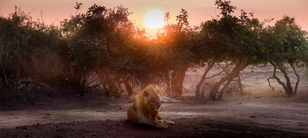 Male lion at sunset, Lower Zambezi, Zambia