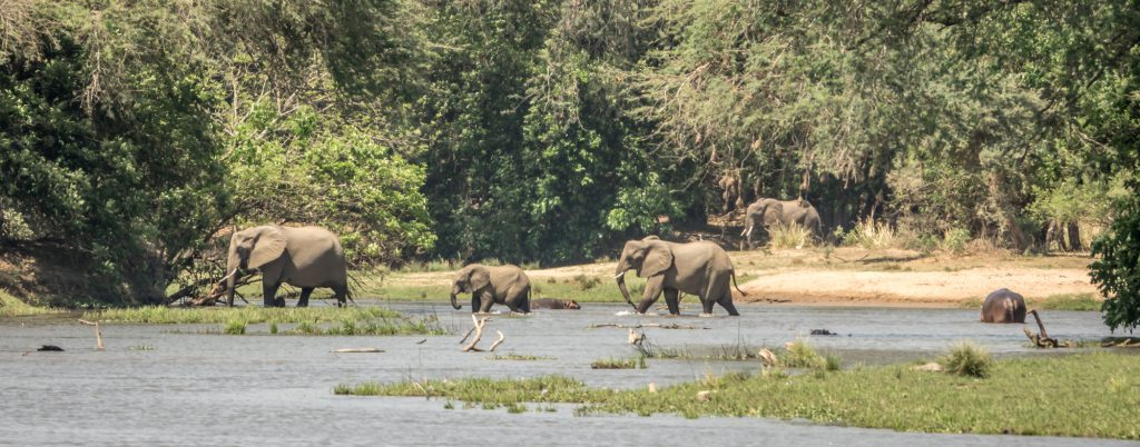 Elephants crossing shallow river