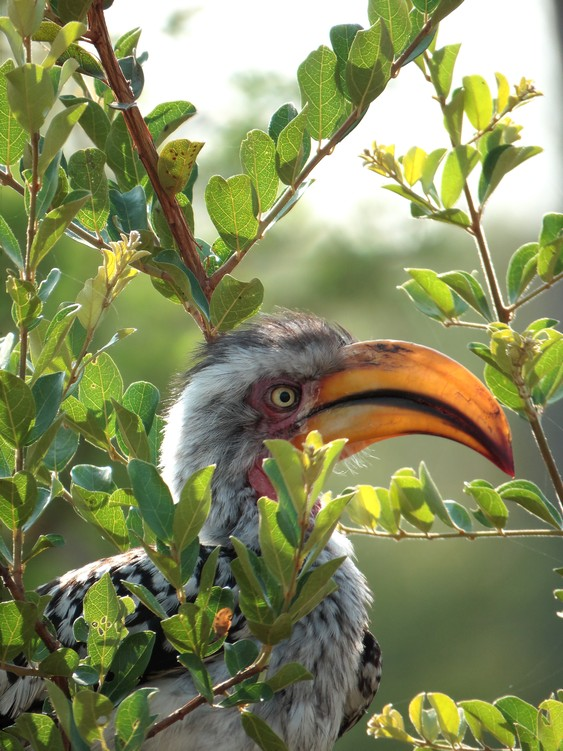 Yellow-Billed Hornbill, Kruger National Park