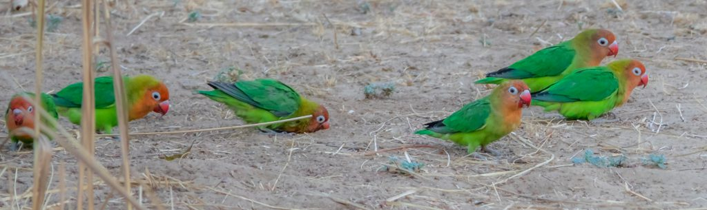 Lovebirds, South Luangwa National Park