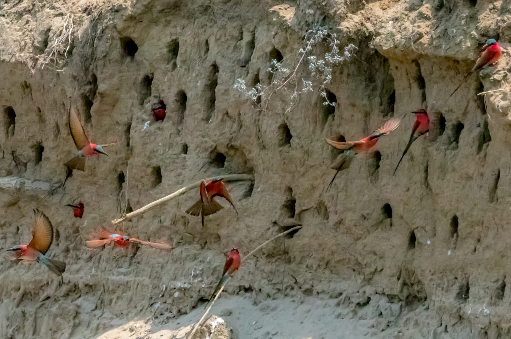 Carmine Bee-eaters In Flight, South Luangwa National Park