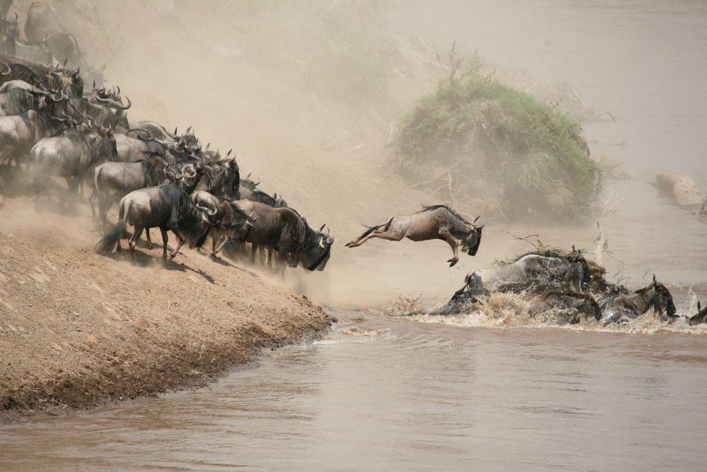 Mara River Wildebeest Crossing