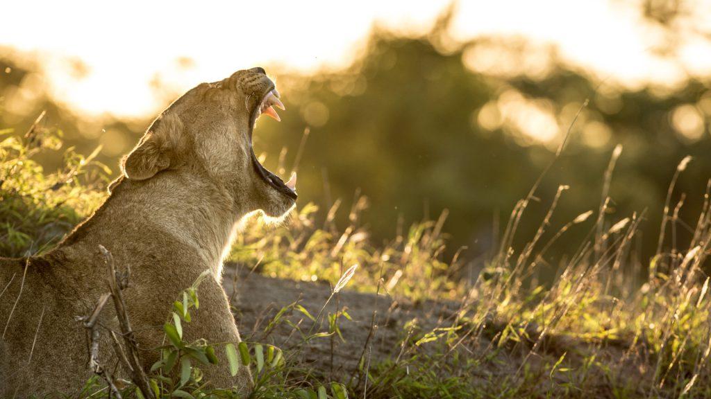 Singita Lion
