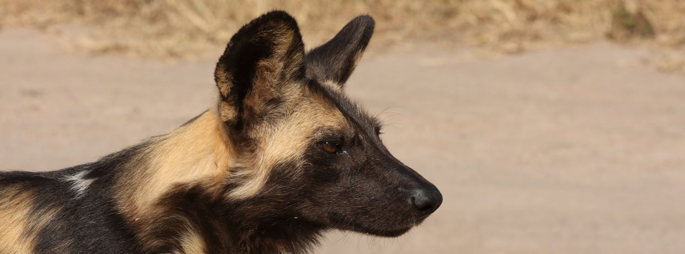 Londolozi Welcomes New Wild Dog Pups News and Updates