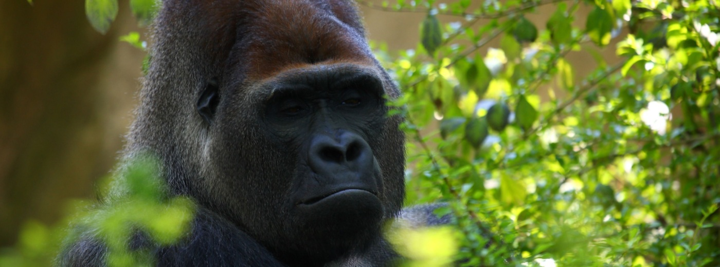 Gorilla Permits in Uganda – Prices Dropped for 2021