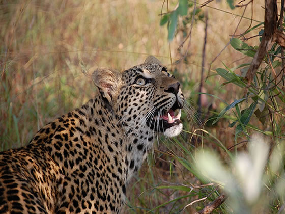 Leopard Watching Squirrel, Sabi Sand Game Reserve, ©Lynn Fleming