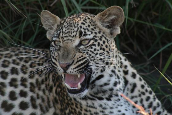 Leopard at Arathusa, Sabi Sand Game Reserve, ©Joanne Sharman
