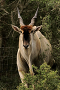 Eland In A Bush, Kariega Game Reserve, ©Candice Lim