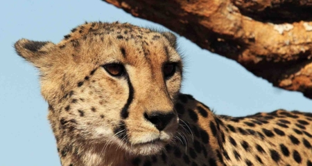 Cheetah in Madikwe
