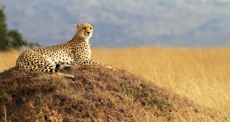 Cheetah sitting on top of a termite mound in the Masai Mara National Reserve