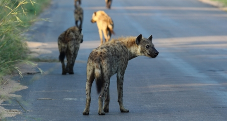 Hyenas spotted on a self-drive holiday in Kruger National Park