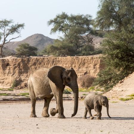 Desert adapted elephants, seen on a nature drive from Hoanib Skeleton Coast Camp