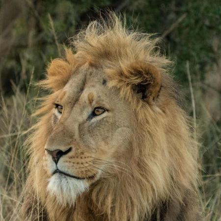 Lion Sighting at Nambiti Game Reserve