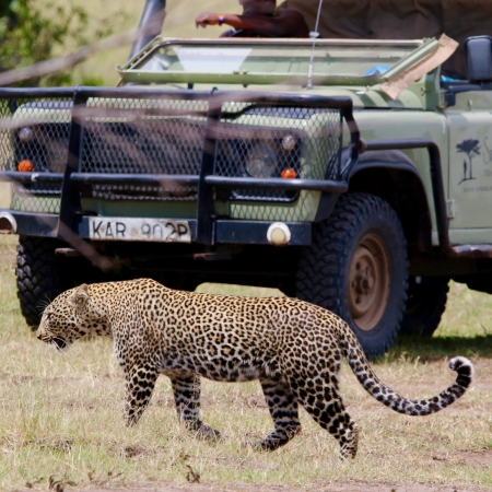 Leopard sighting on a game drive from Saruni Mara in the Mara North Conservancy