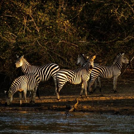 Zebra drinking from Kanga Pan