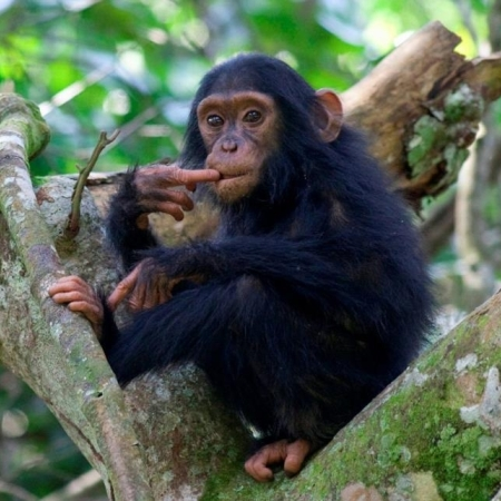 Chimpanzee seen from a trek from Kyambura Gorge Lodge