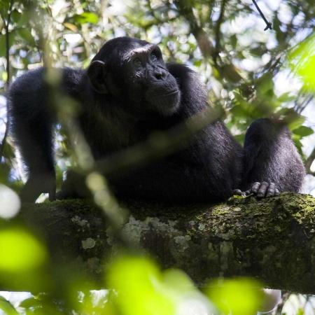 Chimpanzee in Kibale NP