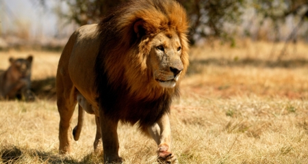 Lion heading out to hunt