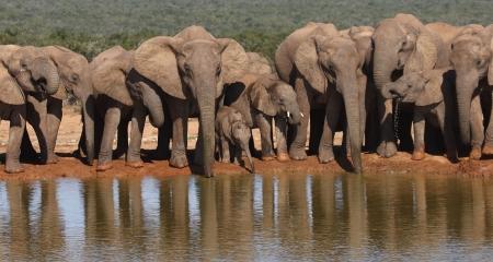 Elephants in a row drinking