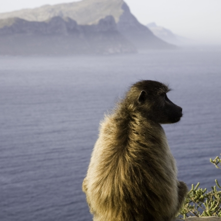 Baboon at Cape Point - don't let their cute looks fool you!
