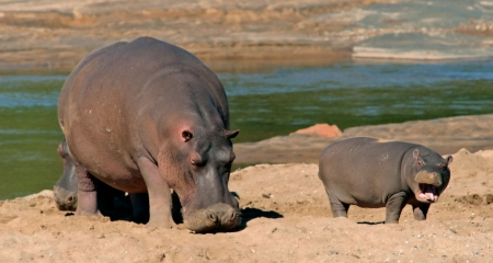 Hippo and calf on the dry riverbank