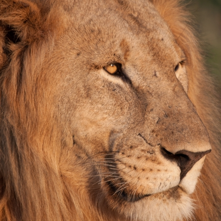 Close up encounter with a male lion