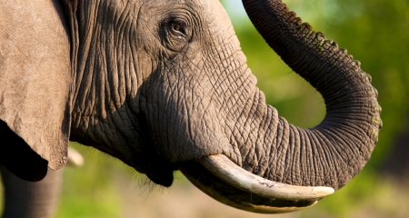 Elephant showing off his tusks