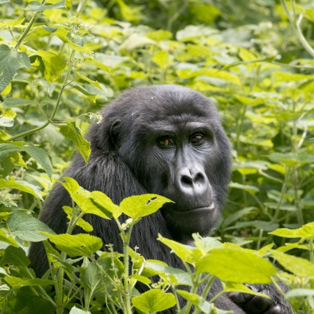Gorilla in the bushes