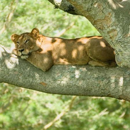 Lioness enjoying lying on a tree branch in the QENP