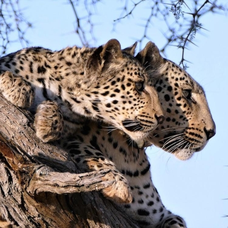 Two leopards on the lookout from their treetop advantage point