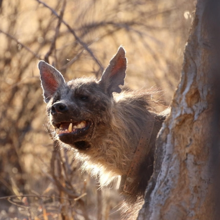 Brown hyena peering out from behind a tree