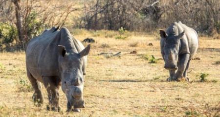 Two approaching rhino