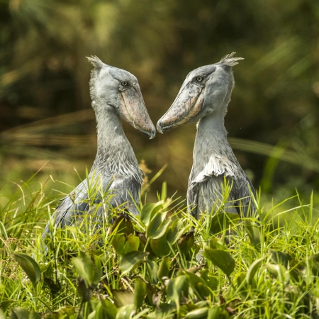 Shoebills in Murchison Park