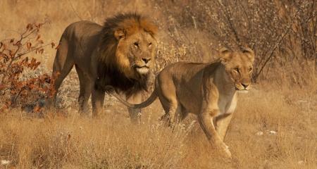 Male and female lion walking through the bush