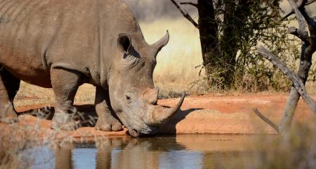 Rhino drinking from a waterhole